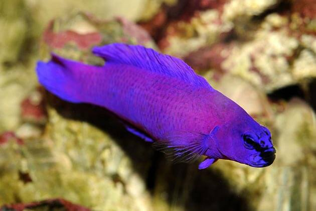 Pseudochromis-Orchidee-522
