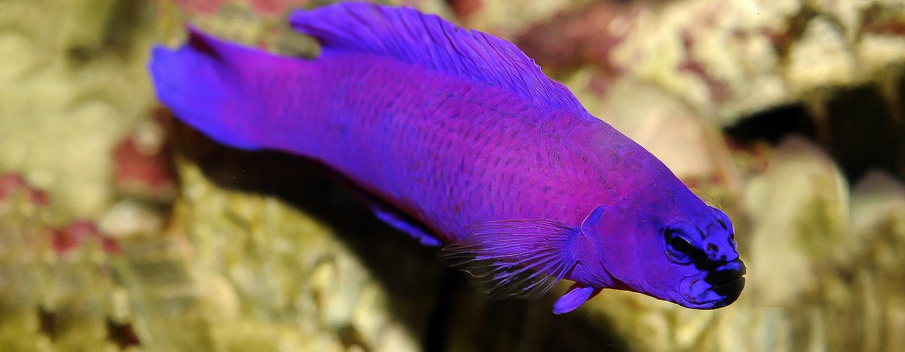 PSEUDOCHROMIS-ORCHIDEE